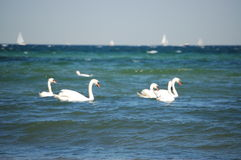 Free Ocean Swan Stock Photography - 5062972