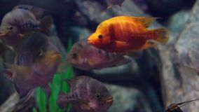 Ocean tropical fish in seawater Aquarium. 1 stock video footage