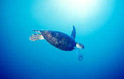 Ocean turtle. A turtle swims in the clear tropical waters Royalty Free Stock Photos