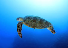 Ocean turtle,great barrier reef,cairns,australia royalty free stock images