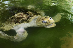 Ocean Turtle in water Stock Image