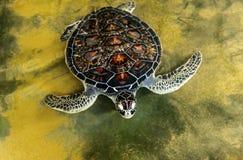 Ocean Turtle in water Stock Photo