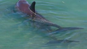 Ocean and two dolphins in slow motion. A bird`s eye view of two dolphins in the ocean in slow motion. Camera tracks the movement of the dolphins stock video footage