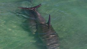 Ocean and two dolphins in slow motion. A bird`s eye view of two dolphins in the ocean in slow motion. Camera tracks the movement of the dolphins stock video