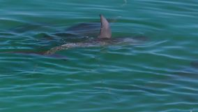 Ocean and two dolphins in slow motion. A bird`s eye view of two dolphins in the ocean in slow motion. Camera tracks the movement of the dolphins stock footage