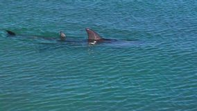 Ocean and two dolphins in slow motion. A medium shot of two dolphins in the ocean in slow motion stock footage