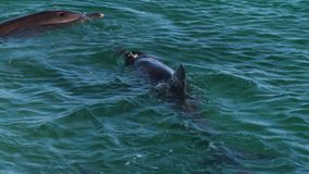 Ocean and two dolphins in slow motion. A medium shot of two dolphins in the ocean in slow motion stock video