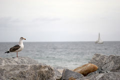 Ocean View. Serene Ocean scene with seagull on the rocks and sailboat in the background (low depth of field stock photo