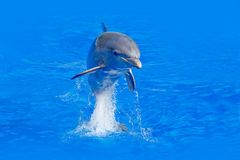 Ocean wave with animal. Bottlenosed dolphin, Tursiops truncatus, in the blue water. Wildlife action scene from ocean nature. Dolph. Ocean wave with animal Stock Photo
