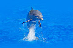 Ocean wave with animal. Bottlenosed dolphin, Tursiops truncatus, in the blue water. Wildlife action scene from ocean nature. Dolph. In in blue water Royalty Free Stock Images