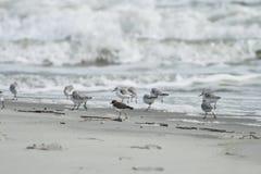 Ocean Wave with Shorebirds. Shorebirds chasing ocean waves on a beach in South Carolina Stock Photography