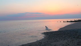 Ocean waves sunset. Ocean waves at beach sunset and dog playing in the water stock footage