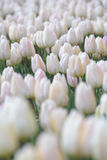 An Ocean of White. Endless tulip fields of the Netherlands Royalty Free Stock Photography