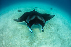 Ocean wildlife with ray on sandy bottom of tropical water. Mantaray underwater world in maldivian tropical water Royalty Free Stock Photo
