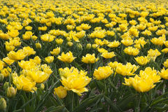 Ocean of yellow tulips Royalty Free Stock Image