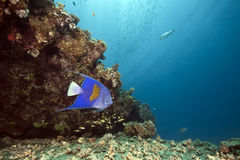 Ocean and yellowbar angelfish Royalty Free Stock Photo