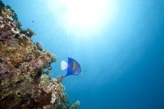 Ocean and yellowbar angelfish Royalty Free Stock Photos