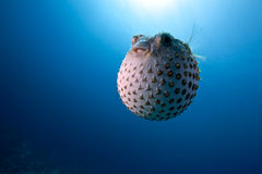 Ocean and yellowspotted burrfish Royalty Free Stock Photos
