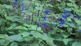 Oceana Blue Salvias stock video footage