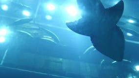 Oceanarium fishes and aquatic plants in aquarium. An oceanarium is a marine mammal park presenting an ocean habitat with stock video footage