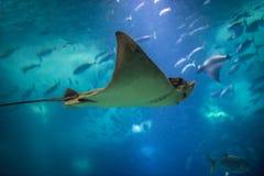 Oceanarium in Lisbon. Aetomylaeus bovinus - Bull ray swimming in blue water royalty free stock images