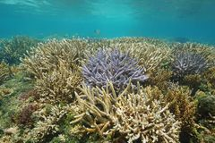 Oceania New Caledonia coral reef in good health. Underwater, south Pacific ocean, lagoon of Grande Terre island stock images