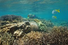 Oceania New Caledonia underwater coral reef fish. Oceania New Caledonia underwater coral reef with fish, lagoon of Grande-Terre island, south Pacific ocean royalty free stock photos