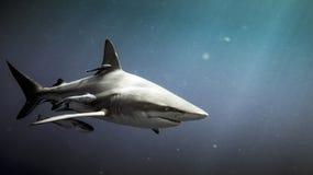 Oceanic blacktip shark Carcharhinus limbatus underwater. Oceanic blacktip shark Carcharhinus limbatus and remora fish underwater in Natal, South Africa stock photo