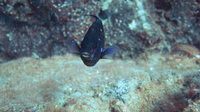 Oceanic blue fish Royalty Free Stock Images