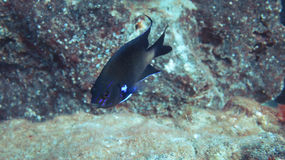 Oceanic blue fish Stock Images
