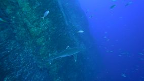 Oceanic longimanus van Carcharhinus van de whitetiphaai op het eiland van Roca Partida van Revillagigedo-Archipel stock footage