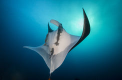 Oceanic Manta Ray Against the Sun. Oceanic manta Ray swimming up to the surface with the sun in the background, Socorro, Mexico Stock Photo