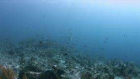 Oceanic Manta Ray in Raja Ampat 4k. Oceanic Manta Ray on a coral reef in Raja Ampat Indonesia. South Raja Ampat dive site Shadow Reef, Magic Mountain 4k footage stock footage