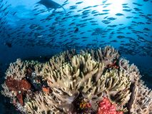Oceanic Manta Ray, Raja Ampat, Indonesia. Oceanic Manta rays dancing over coral reefs with school of silver fishes in Raja Ampat, Indonesia stock photo