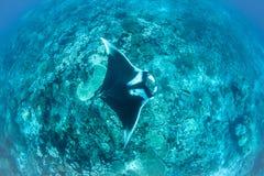 Oceanic Manta Ray in Raja Ampat stock photos