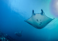 Oceanic Manta Rays at Cleaning Station Royalty Free Stock Photo