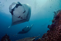 Oceanic Manta Rays Overhead Stock Images