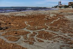 Oceanic Posidonia remains on the shore. After the storm in Santa Pola, Spain Stock Photo