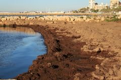 Oceanic Posidonia remains on the shore. After the storm in Santa Pola, Spain Stock Photography