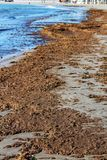 Oceanic Posidonia remains on the shore Royalty Free Stock Image