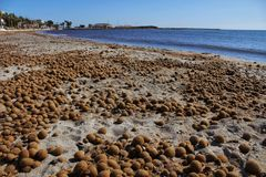 Oceanic Posidonia remains on the shore. After the storm in Santa Pola, Spain Stock Photos
