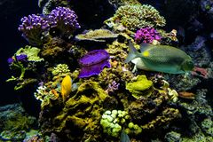 Oceanic sealife aquarium with mosaic of many species of colorful. Corals in a zoological oceanarium royalty free stock photos