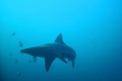 Oceanic shark Stock Image