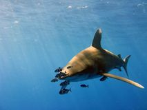 Oceanic White Tip Royalty Free Stock Image