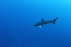Oceanic White Tip shark (Carcharinus longimanus) Stock Images
