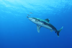 Oceanic White Tip shark (Carcharinus longimanus). In the Red Sea. These large predators come very close to investigate divers stock photo