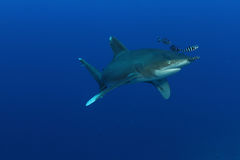 Oceanic White Tip shark (Carcharinus longimanus) royalty free stock photo