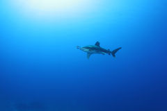 Oceanic White Tip shark (Carcharinus longimanus) Royalty Free Stock Photography