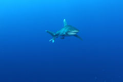 Oceanic White Tip shark (Carcharinus longimanus) Stock Photos