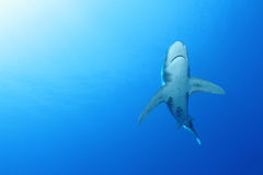 Oceanic White Tip shark (Carcharinus longimanus). In the Red Sea. These large predators come very close to investigate divers royalty free stock images